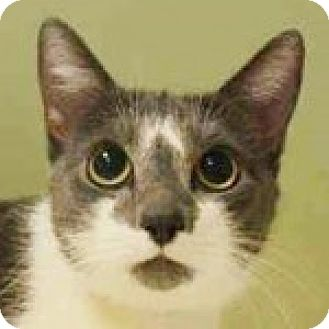 Domestic Shorthair Cat for adoption in Medford, Massachusetts - Kizzy