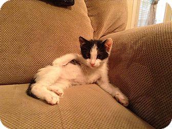 Domestic Shorthair Kitten for adoption in Carencro, Louisiana - Buzz