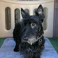 Scottie, Scottish Terrier Dog for adoption in Dallas, Texas - Webster