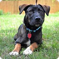 Adopt A Pet :: *Brody - PENDING - Westport, CT