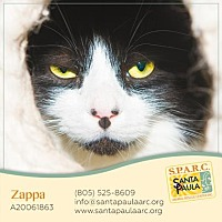 Domestic Longhair Cat for adoption in Santa Paula, California - Zappa