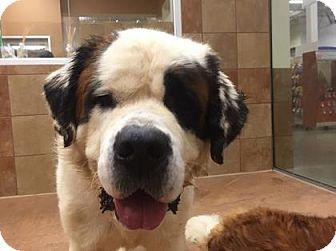 St. Bernard Mix Dog for adoption in Plymouth Meeting, Pennsylvania - Oreo