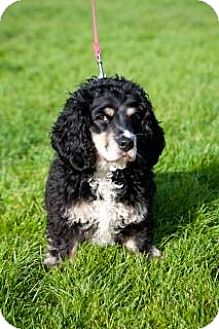 Dachshund/Cocker Spaniel Mix Dog for adoption in Forest Ranch, California - QUINAC aka Nackers