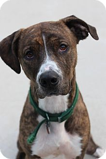 Catahoula Leopard Dog Mix Dog for adoption in Manitowoc, Wisconsin - Toby