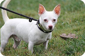 Chihuahua Mix Dog for adoption in Ashville, Ohio - Cotton