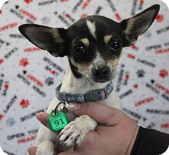 Chihuahua Mix Dog for adoption in Gustine, California - DANI