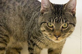 Domestic Shorthair Kitten for adoption in Houston, Texas - PACKEY