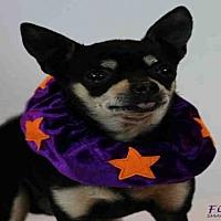 Adopt A Pet :: FIEVEL - Santa Maria, CA