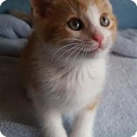 Adopt A Pet :: Butterscotch - Budd Lake, NJ