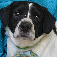 Border Collie Mix Dog for adoption in Cuba, New York - Rhett Manzella