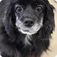 Adopt A Pet :: Missy (Elliot) - Warren, MI