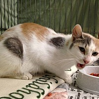 Domestic Shorthair Cat for adoption in millville, New Jersey - Eliana