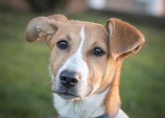 Beagle Mix Dog for adoption in West Allis, Wisconsin - Lexus