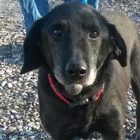 Labrador Retriever Mix Dog for adoption in Terre Haute, Indiana - Speedy