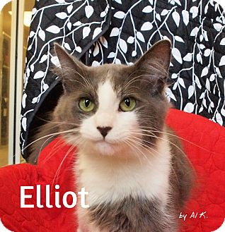 Domestic Shorthair Cat for adoption in Pleasantville, New Jersey - Elliot