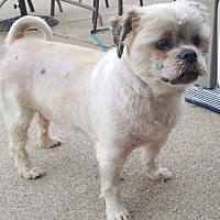Lhasa Apso Mix Dog for adoption in Plainfield, Illinois - Cindy Crawford