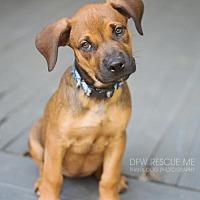 Adopt A Pet :: Bella Bee - Denton, TX