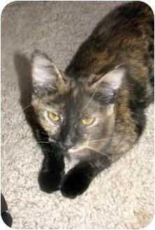 Domestic Shorthair Cat for adoption in Xenia, Ohio - Tina