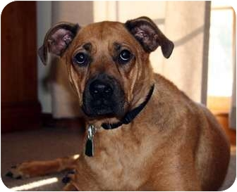 Boxer/Shepherd (Unknown Type) Mix Dog for adoption in Overland Park, Kansas - Abby
