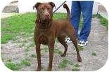 Labrador Retriever Mix Dog for adoption in Summerville, South Carolina - Mimsy