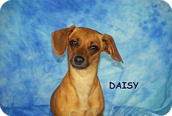 Dachshund/Chihuahua Mix Dog for adoption in Ft. Myers, Florida - Daisy