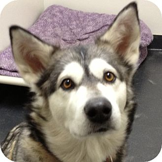 Alaskan Malamute Mix Dog for adoption in Ithaca, New York - Sony
