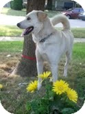 Labrador Retriever Mix Dog for adoption in Salem, Massachusetts - Murphy