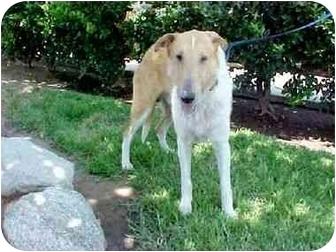 Collie Dog for adoption in Gardena, California - Cowboy