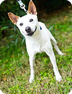 Australian Cattle Dog/Jack Russell Terrier Mix Dog for adoption in Houston, Texas - Vitaly