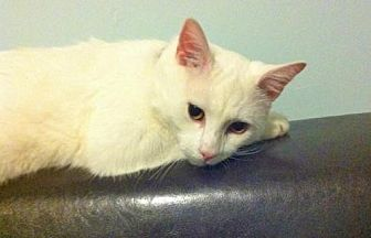 Domestic Shorthair Cat for adoption in Brooklyn, New York - Lucky Little Oliver