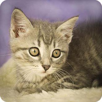 Domestic Shorthair Kitten for adoption in Columbia, Illinois - Liv