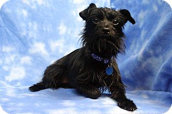 Terrier (Unknown Type, Small) Mix Dog for adoption in Westminster, Colorado - Iggy