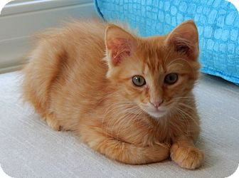 Domestic Shorthair Kitten for adoption in Chattanooga, Tennessee - Andy