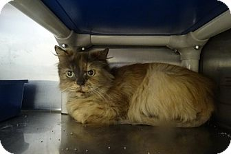 Persian Cat for adoption in Elyria, Ohio - Kelly