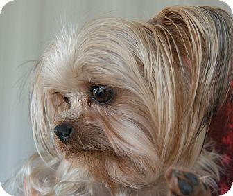 Yorkie, Yorkshire Terrier Dog for adoption in Sacramento, California - Ms. Ellie