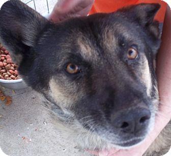 German Shepherd Dog Dog for adoption in Greenville, Kentucky - titus