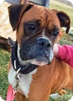Boxer Dog for adoption in Oswego, Illinois - Visa