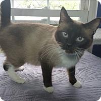Adopt A Pet :: Primrose - Fairborn, OH