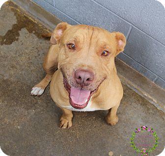 Bullmastiff/Boxer Mix Dog for adoption in Sierra Vista, Arizona - Mumford