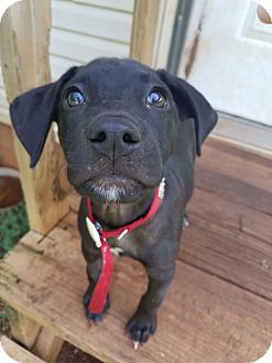 Labrador Retriever Mix Puppy for adoption in Knoxville, Tennessee - Zuri
