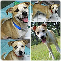 Adopt A Pet :: Duke - Forked River, NJ