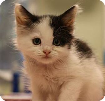 Domestic Longhair Kitten for adoption in Lincoln, California - Macey