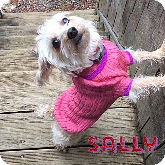 Yorkie, Yorkshire Terrier/Poodle (Miniature) Mix Dog for adoption in Barriere, British Columbia - Sally (aka Sally-Poo)