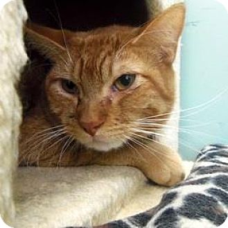 Domestic Shorthair Cat for adoption in Janesville, Wisconsin - Ron Weasley