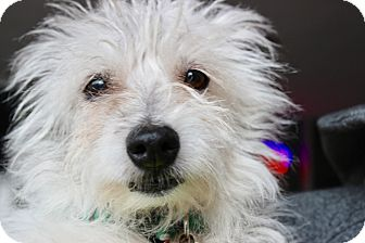 Westie, West Highland White Terrier/Cairn Terrier Mix Dog for adoption in Los Angeles, California - Phyllis aka Little MissBedhead