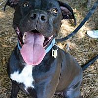 American Staffordshire Terrier/Presa Canario Mix Dog for adoption in Dallas, Georgia - Tyson