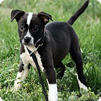 Adopt A Pet :: Lennon - Windham, NH