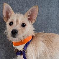 Pomeranian/Chihuahua Mix Dog for adoption in Colorado Springs, Colorado - Vail