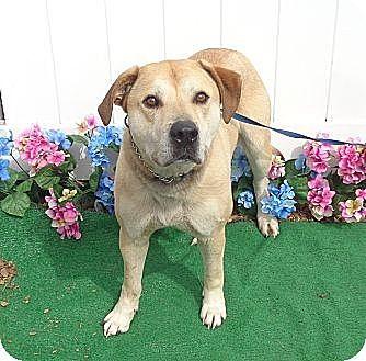 Labrador Retriever Mix Dog for adoption in Woodstock, Georgia - Dax