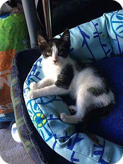 Domestic Shorthair Kitten for adoption in Chesapeake Beach, Maryland - SaddleBack